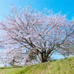 裏山の一本桜