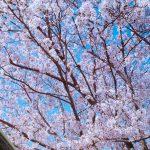 4歳カメラマンも桜を撮りたい