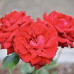 ハート型の薔薇(バラ)