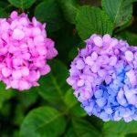 紫陽花のグラデーション