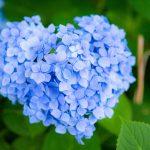 青いハート型の紫陽花