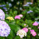 紫陽花はどう撮ろうか悩む