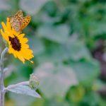 ヒマワリと蝶