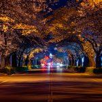 平成さくら通りの夜桜
