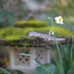 水仙と石灯籠