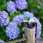 紫陽花とF